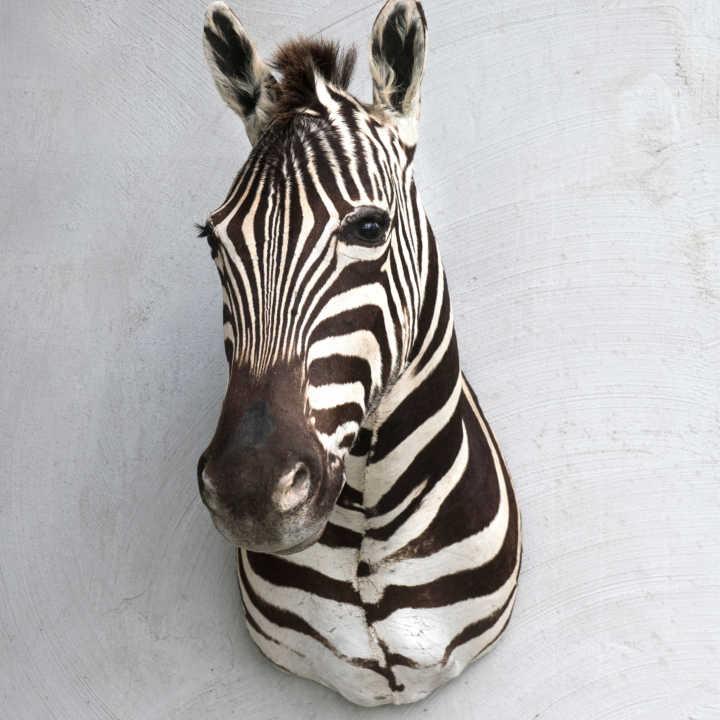 zebra shoulder mount exotic skin